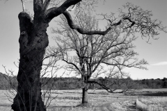 Leafless Trees 1
