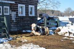 Bull in Winter