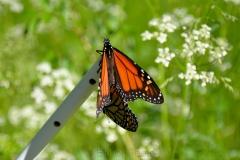 Mating Monarch Butterflies