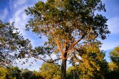 Pasture Tree