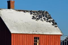 Motif #1 & Pigeons