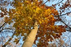 Ravenswood Tree