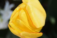 Bright Yellow Tulip