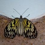 Butterflies, Otago Museum, Dunedin, New Zealand