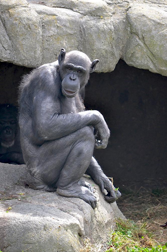 Old Chimpanzee, Wellington Zoo, New Zealand