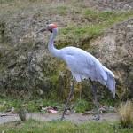 Brolga Crane, Wellington Zoo, New Zealand