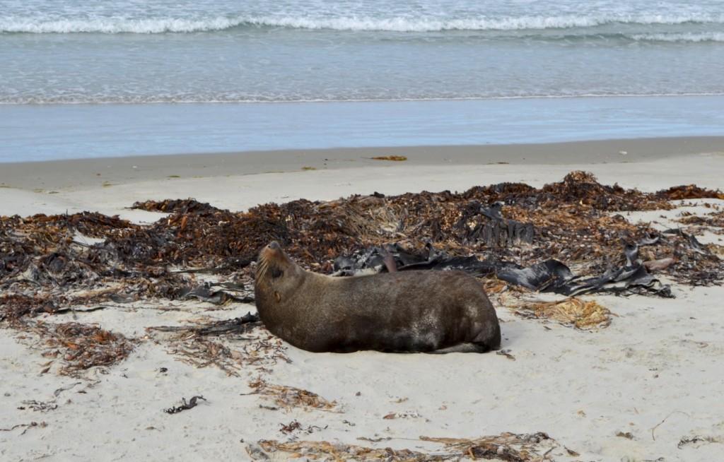 Fur Seal, Long Beach, Dunedin, New Zealand