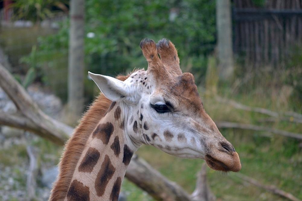 Giraffe, Wellington Zoo, New Zealand