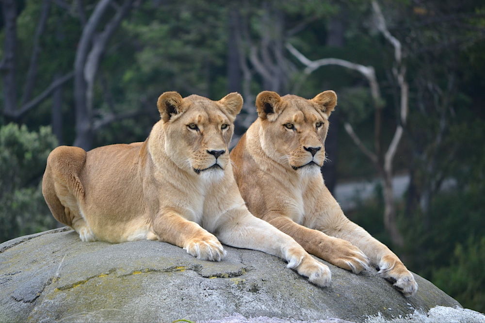 Lions, Wellington Zoo, New Zealand