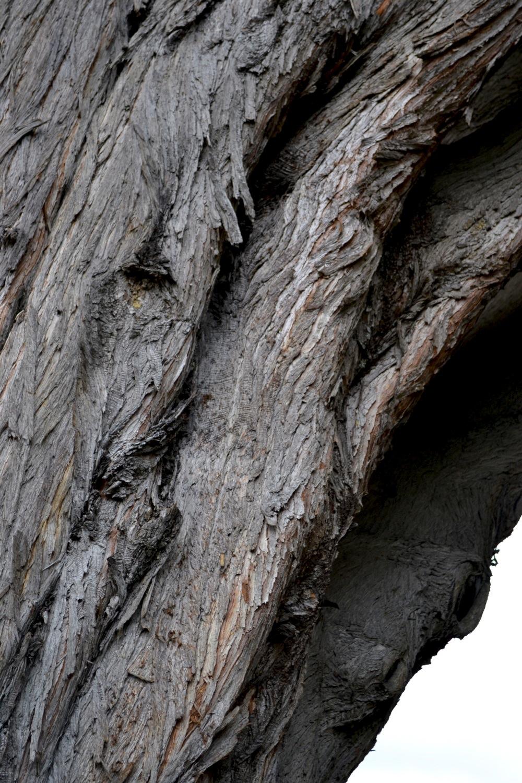 Macrocarpa Tree, Dunedin, New Zealand