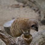 Meerkat, Wellington Zoo, New Zealand