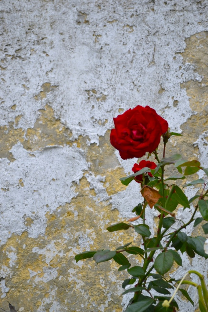 Red Rose Against a Wall