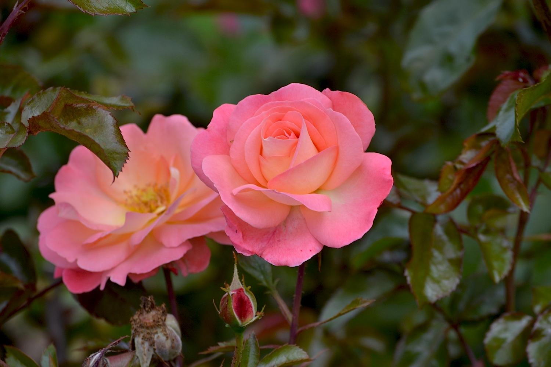 Rose Garden, Palmerston North, New Zealand