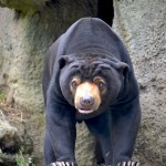 Sun Bear, Wellington Zoo, New Zealand