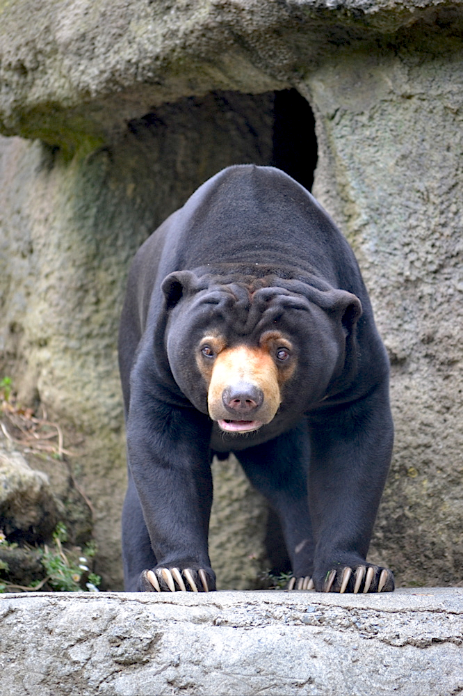Sun Bear, Wellington Zoo, New Zealand