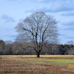 February Bare Tree, Appleton Farms, Ipswich MA