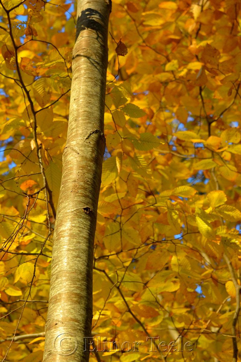 Fall Foliage, Goose Cove Reservoir, Gloucester MA