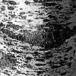 Birch Bark, Blackburn Center, Gloucester MA