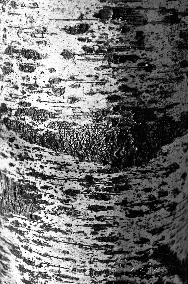 Birch Bark, Blackburn Center, Gloucester MA