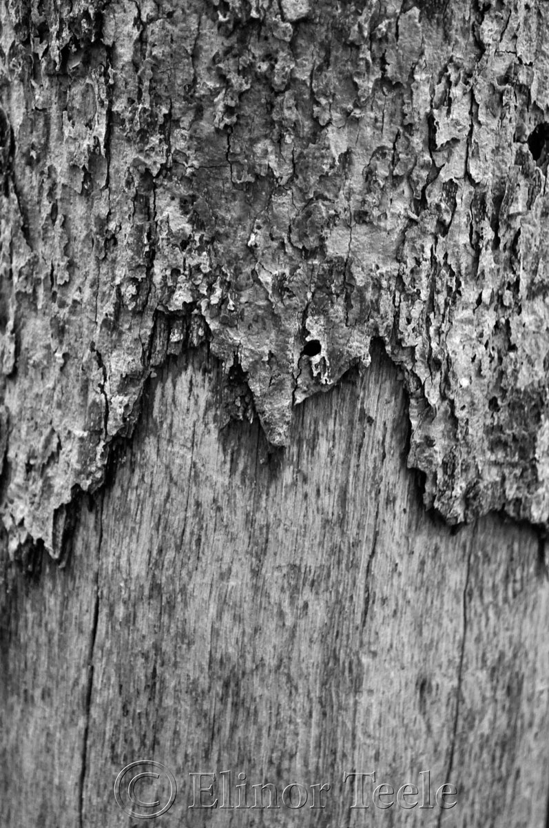 Bark in Black & White, Ravenswood, Gloucester MA 1