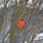 Cardinal on a Winter's Day