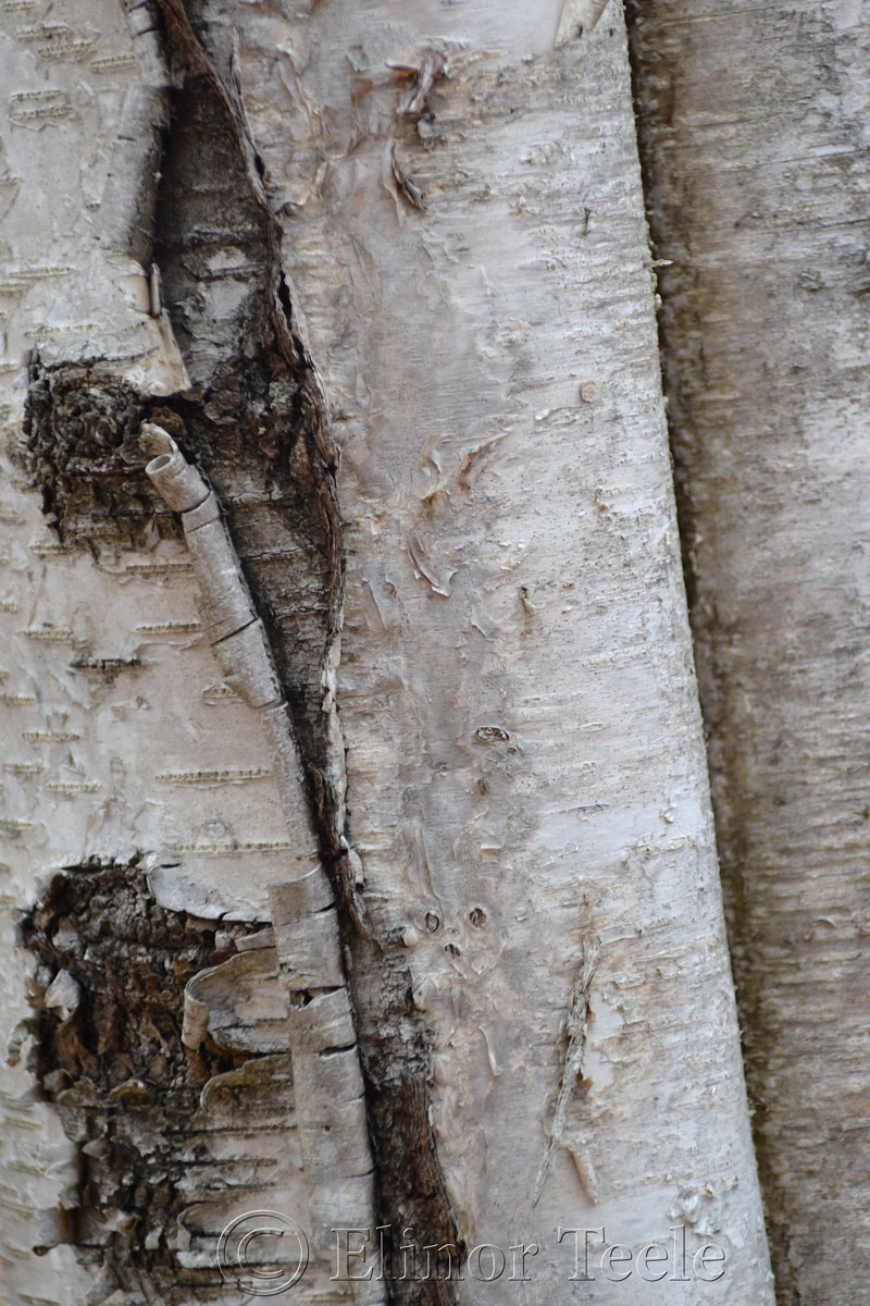 Birch Bark, Ravenswood, Gloucester MA 1