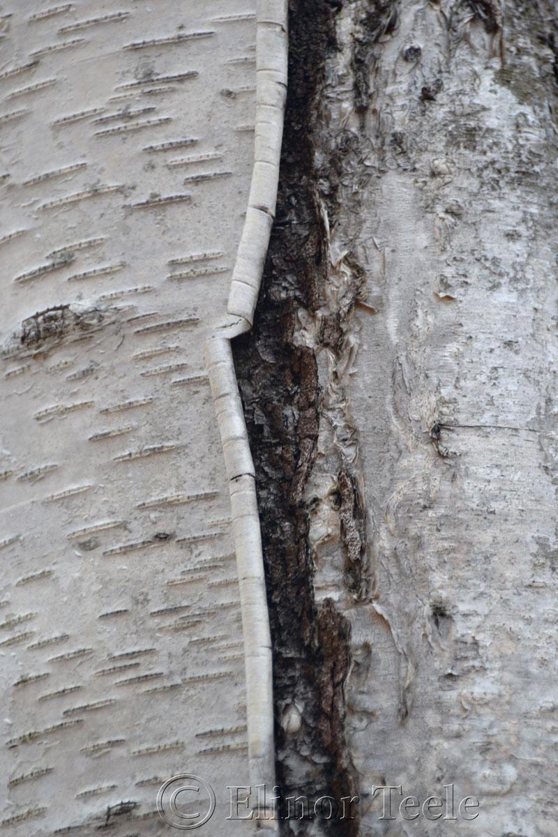 Birch Bark, Ravenswood, Gloucester MA 2