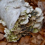 Polypore Mushrooms, Ravenswood, Gloucester MA