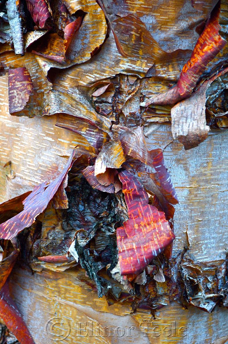 Birch Bark in Color