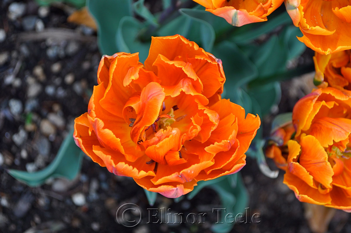 Orange Tulip, Double Hybrid