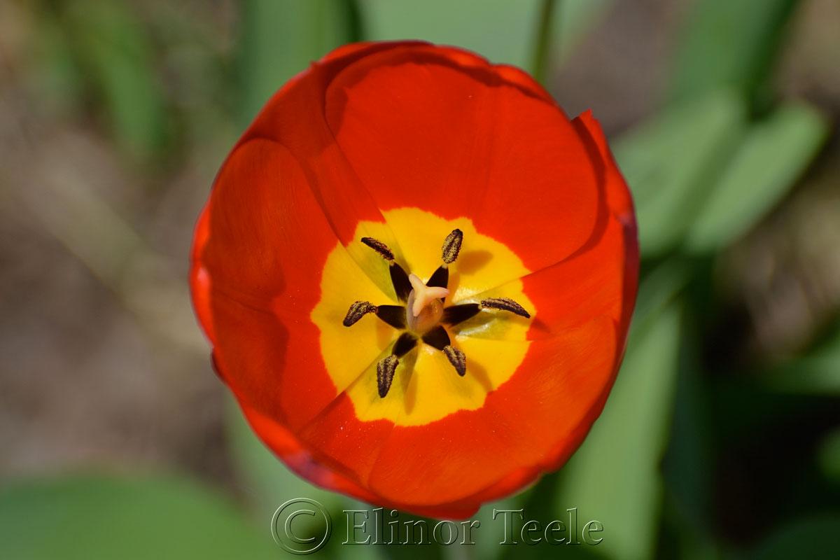 Red & Yellow Tulip