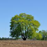 Spring Tree, Appleton Farms, Ipswich MA