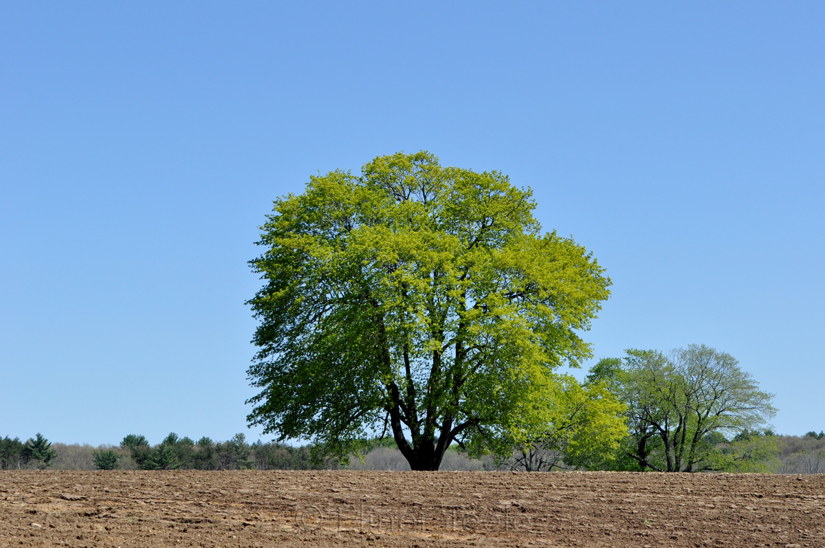Spring Tree, Appleton Farms, Ipswich MA
