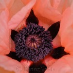 Pink Poppy in Bloom