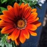 Red & Orange Flower 1