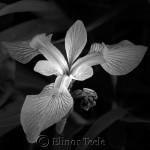 Black & White Iris