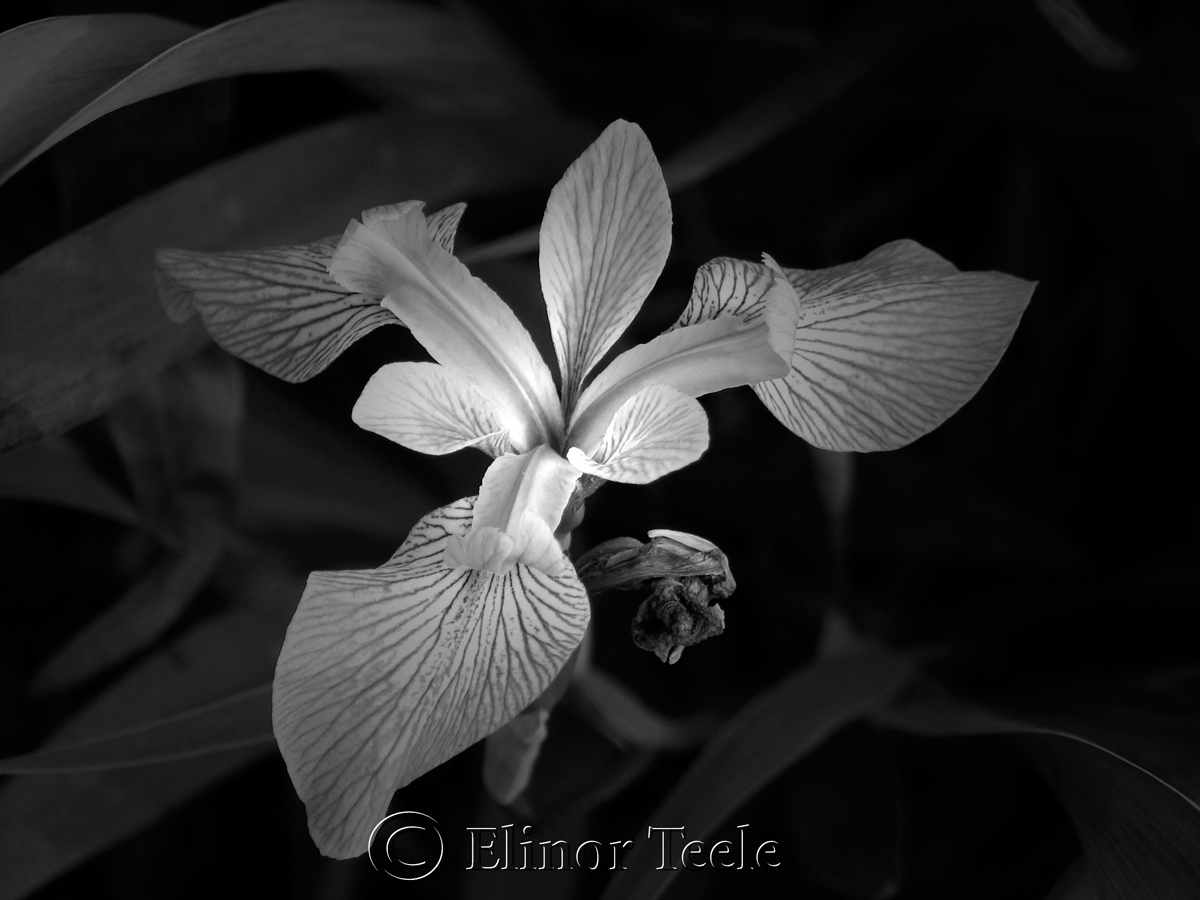 Creative photography freelance photographer massachusetts flowers black white iris mightylinksfo Image collections