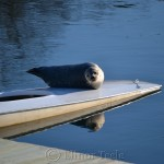 Sunbathing Seal, Annisquam Harbor