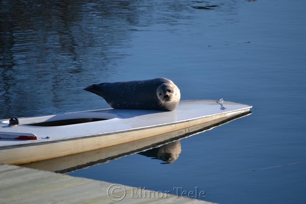 Sunbathing Seal, Annisquam Harbor