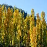 Arrow River Poplars, Arrowtown