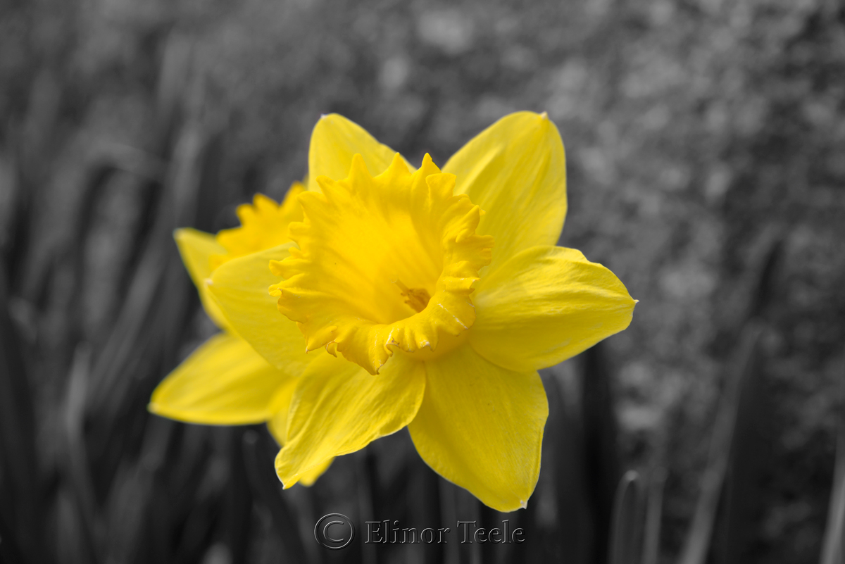 Daffodils in New England