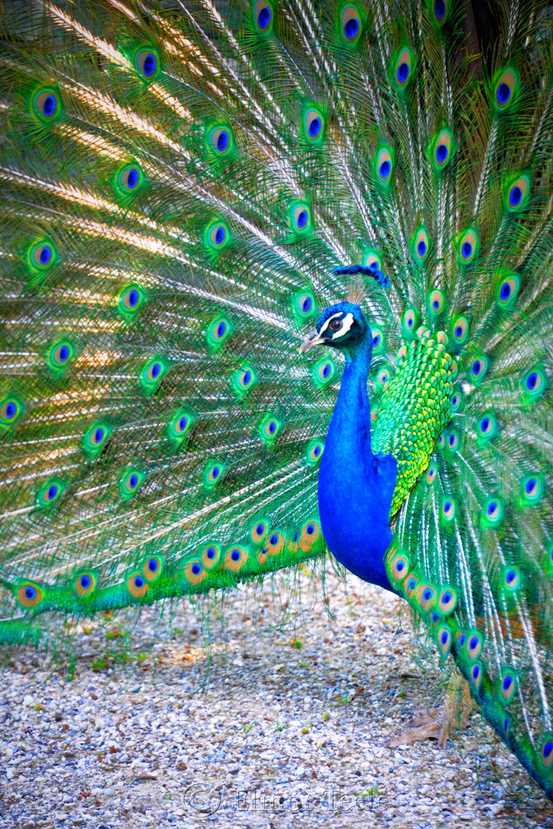 Peacock, Schloss Eggenberg Gardens, Graz, Austria 2