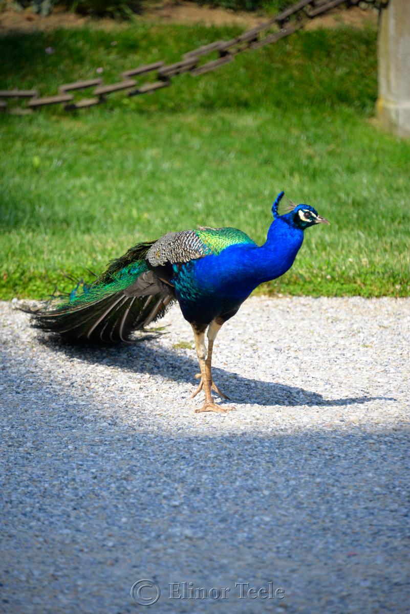 Peacock, Schloss Eggenberg Gardens, Graz, Austria 3