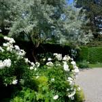 White Roses, Schloss Eggenberg Gardens, Graz, Austria