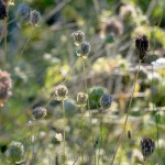 Birds' Nests, Queen Anne's Lace