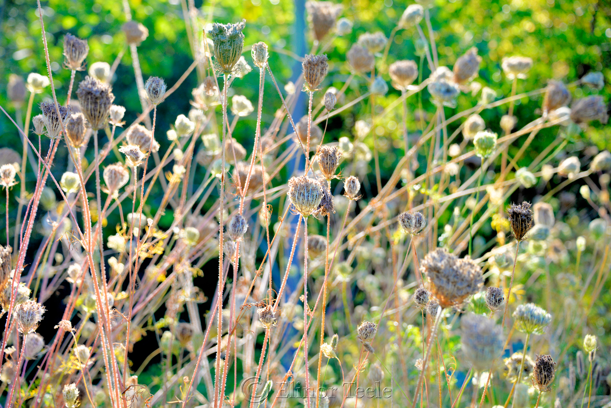 Birds' Nests, Queen Anne's Lace 2