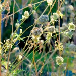 Birds' Nests, Queen Anne's Lace 3