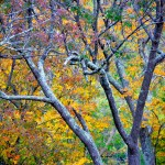 Fall Foliage - Grey Bark 1