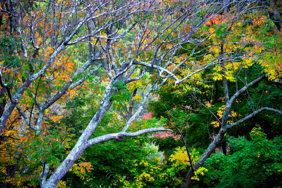Fall Foliage - Grey Bark 2