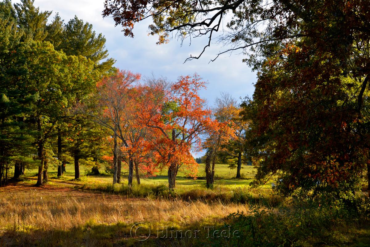 Fall Foliage - Lone Tree, Appleton Farms, Ipswich MA